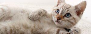 Silk Cat Rescue